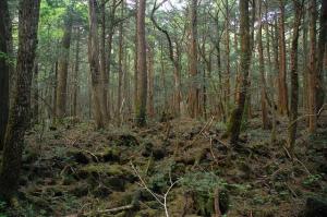 Aokigahara-trees